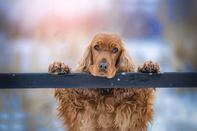Cocker Spaniel sitting on a fence