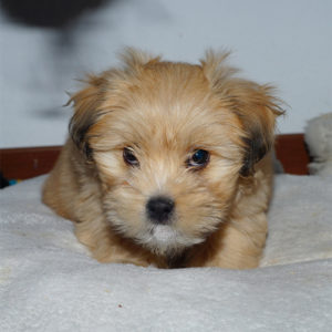 Very young puppy