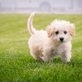 Small white puppy standing in green grass