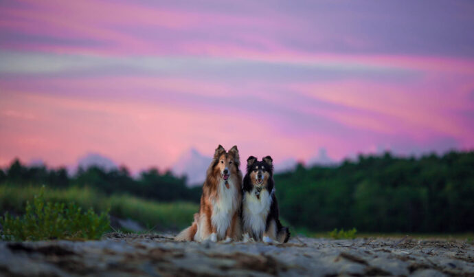 Two dogs in front of a purply-pink sunset