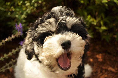 Next was Chloe, a little Havanese pup who enjoys two visits a day from her walker Katie as she learns how to be house trained (and Katie had taught her a trick or two already too!)