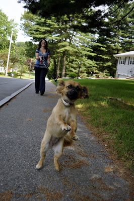 Usually we try to keep our walks structured and controlled to promote good manners, but Bella was just too excited to get her picture taken and ran ahead of her walker Meghan to smile for the camera!