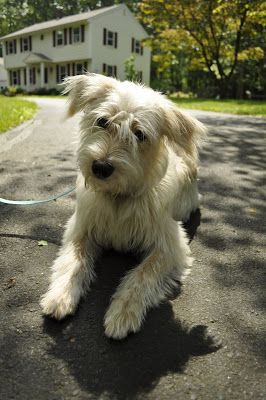 Daisy is a rescued terrier mix who lives in a beautiful neighborhood, though her and her walker must watch out for poison ivy! I walked Daisy myself earlier this summer and ended up with a whole bunch of the itchy stuff all over my legs!