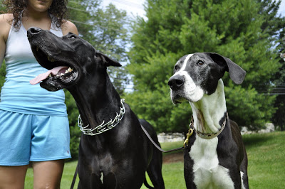 But these guys, despite their size, are as gentle and sweet as they get. They love to walk with Katie down to the North Andover town common, or play in the backyard.