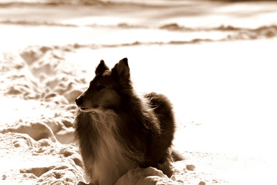Sepia Collie