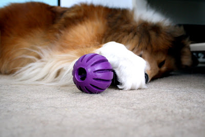 Collie Playing with Toy