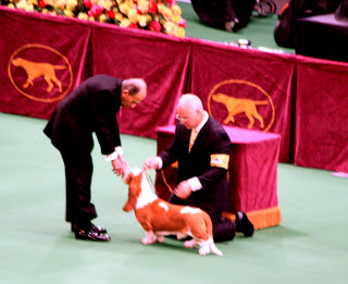 The judge looks over a Basset Hound.