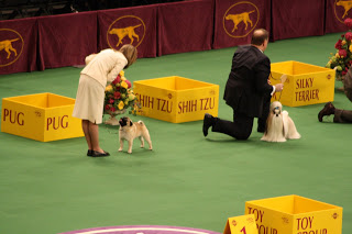 The Toy Group was next with the Pug and Shih Tzu looking their best for the judge.