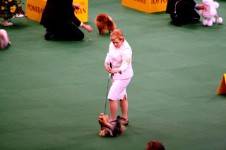 The Yorkshire Terrier strutting her stuff.