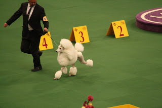 The Poodle in the Sporting Group. The poodles that we walk, Kelsey and Vinnie, don't quite look like this!