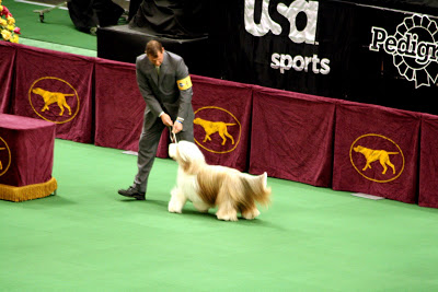The Bearded Collie getting ready to get reviewed by the judge. He ended up winning Best in Group for the Herding Group.