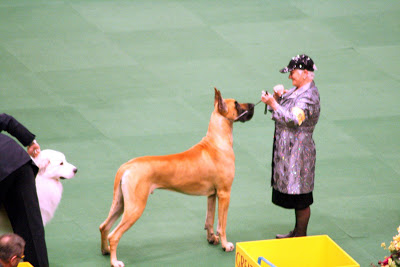 "I couldn't resist posting a picture of the Great Dane and his handler. She was dressed head to toe in ""bling."""