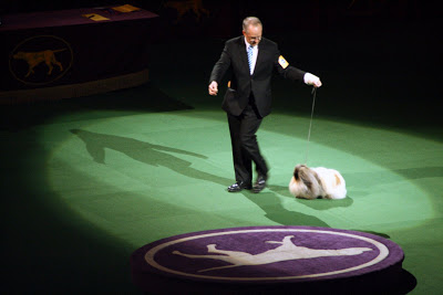 Each dog entered the ring as he was announced. In the spotlight here is the Pekingese. Saying it took him a while to walk around the ring is an understatement!