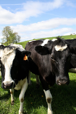 Black and white cows