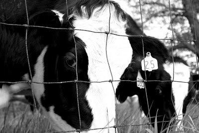 Black and white cow face picture