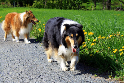 Collies Walking Together