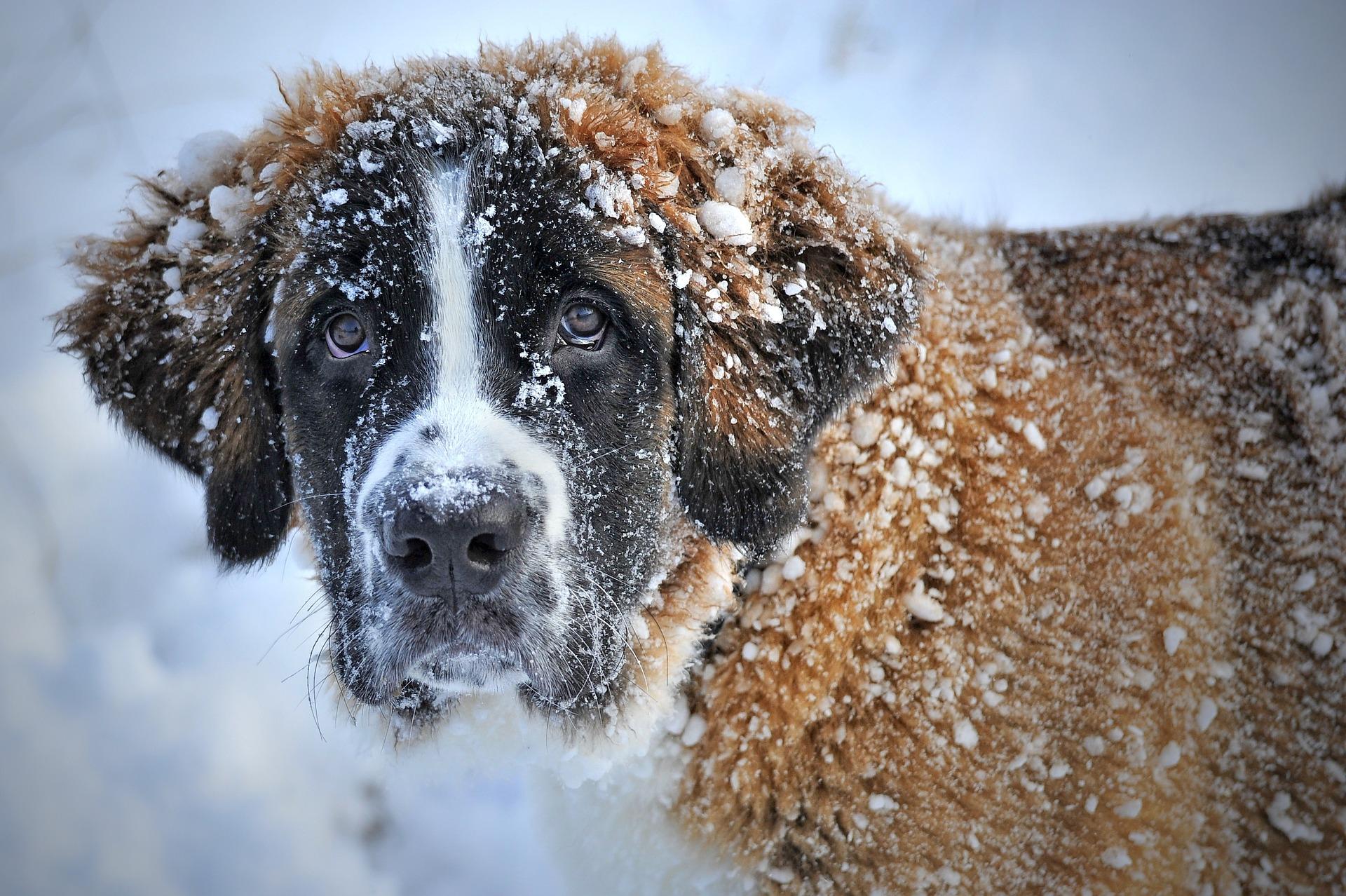 Saint Bernard covered in Snow