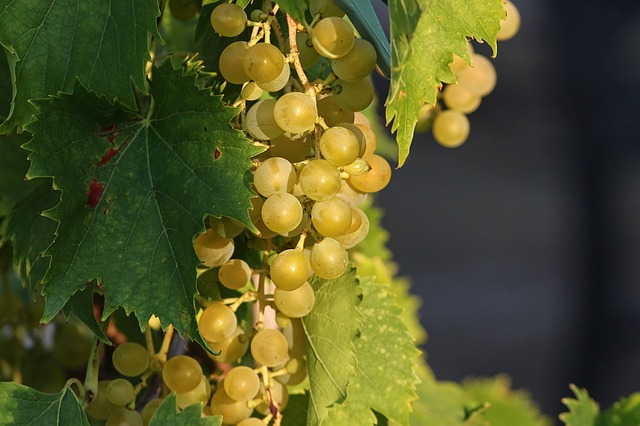 Can my dog eat grapes?
