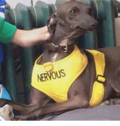 Nervous Greyhound
